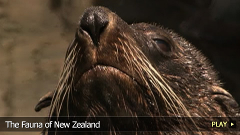 The Fauna of New Zealand