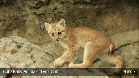 Cute Baby Animals: Lynx Cub