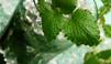 Video Drink Recipe: Mojito